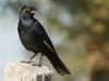 Pale-winged Starling (Onychognathus nabouroup) - Wiki