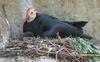 Southern Bald Ibis (Geronticus calvus) with chick
