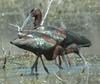 White-faced Ibis (Plegadis chihi) - Wiki