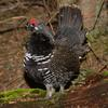 Spruce Grouse (Falcipennis canadensis) - Wiki
