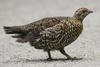 Spruce Grouse (Falcipennis canadensis) female
