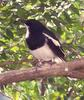Magpie-robin (Family: Muscicapidae) - Wiki