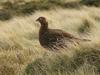 Red Grouse (Lagopus lagopus scoticus) - Wiki