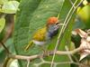 Dark-necked Tailorbird (Orthotomus atrogularis) - Wiki