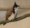 Red-whiskered Bulbul (Pycnonotus jocosus) after bath