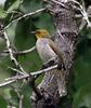 Yellow-throated Bulbul (Pycnonotus xantholaemus) - Wiki