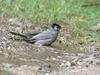 Black Bulbul (Hypsipetes leucocephalus) taking bath
