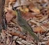 Long-billed Bernieria (Bernieria madagascariensis) - Wiki