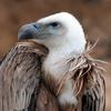 Vulture (Falconiformes Accipitridae (part); Ciconiiformes Cathartidae) - Wiki