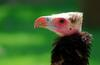 White-headed Vulture (Trigonoceps occipitalis) - Wiki