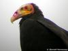 Lesser Yellow-headed Vulture (Cathartes burrovianus) - Wiki