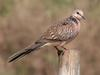 Spotted Dove (Streptopelia chinensis) - Wiki