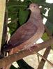 Brown Cuckoo-dove (Macropygia phasianella) - Wiki