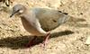 White-tipped Dove (Leptotila verreauxi) - Wiki