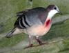Luzon Bleeding-heart Dove (Gallicolumba luzonica) - Wiki