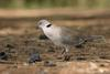 Ring-necked Dove, Cape Turtle Dove (Streptopelia capicola) - Wiki