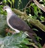 White-headed Pigeon (Columba leucomela) - Wiki