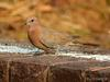 Genus Streptopelia (Family: Columbidae, Doves) - Wiki