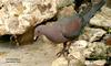 Red-billed Pigeon (Patagioenas flavirostris) - Wiki