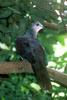 Macropygia (Family: Columbidae, Cuckoo-doves) - Wiki