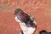 Red-faced Crimson-wing (Cryptospiza reichenovii) - Wiki