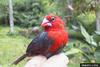 Red-headed Bluebill (Spermophaga ruficapilla) - Wiki