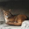 Asian Golden Cat (Pardofelis temminckii) - Wiki