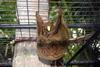 Philippine Flying Lemur (Cynocephalus volans) - Wiki