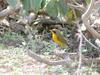 Golden Bush-robin (Tarsiger chrysaeus) male