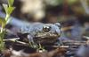 Common Spadefoot Toad (Pelobates fuscus) - Wiki