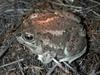 Great Basin Spadefoot Toad (Spea intermontana) - Wiki