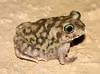 Couch's Spadefoot Toad (Scaphiopus couchii) - Wiki