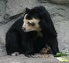 Spectacled Bear (Tremarctos ornatus) - Wiki