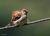 Old World Sparrow (Family: Passeridae, Genus: Passer) - Wiki