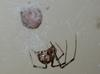 Common House Spider (Family: Theridiidae, Genus: Achaearanea) - Wiki