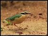 Pitta (Family: Pittidae, Genus Pitta) - Wiki