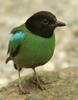 Hooded Pitta (Pitta sordida) - Wiki