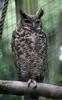 South American Great Horned Owl (Bubo virginianus nacurutu) - Wiki