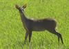 Red Brocket Deer (Mazama americana) - Wiki