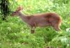 Gray Brocket Deer (Mazama gouazoubira) - Wiki