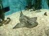 Japanese Angel Shark (Squatina japonica) - Wiki