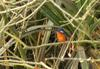 Blue-eared Kingfisher (Alcedo meninting) - Wiki