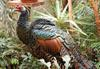 Ocellated Turkey (Meleagris ocellata) - Wiki