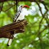 Red-billed Hornbill (Tockus erythrorhynchus) - Wiki