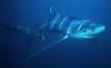 Blue Shark (Prionace glauca) - Wiki