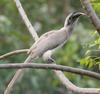 Indian Grey Hornbill (Ocyceros birostris) - Wiki