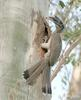 Indian Grey Hornbill (Ocyceros birostris) at nest