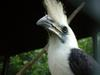 White-crowned Hornbill (Aceros comatus) - Wiki