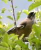 Lanceolated Jay / Black-headed Jay (Garrulus lanceolatus)