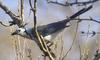 White-throated Magpie-jay (Calocitta formosa) - Wiki